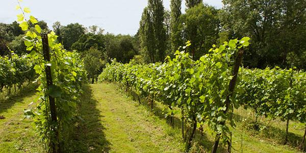 Wythall Estate Vineyard, Herefordshire